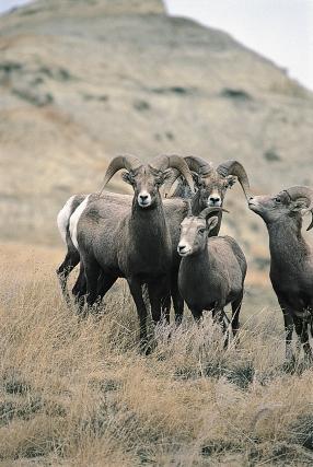 Bighorn Sheep NDGF (3)