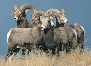 050317 bighorn sheep1.jpg