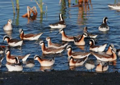 170524phalarope-shorebird