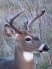 Buck10.jpg
