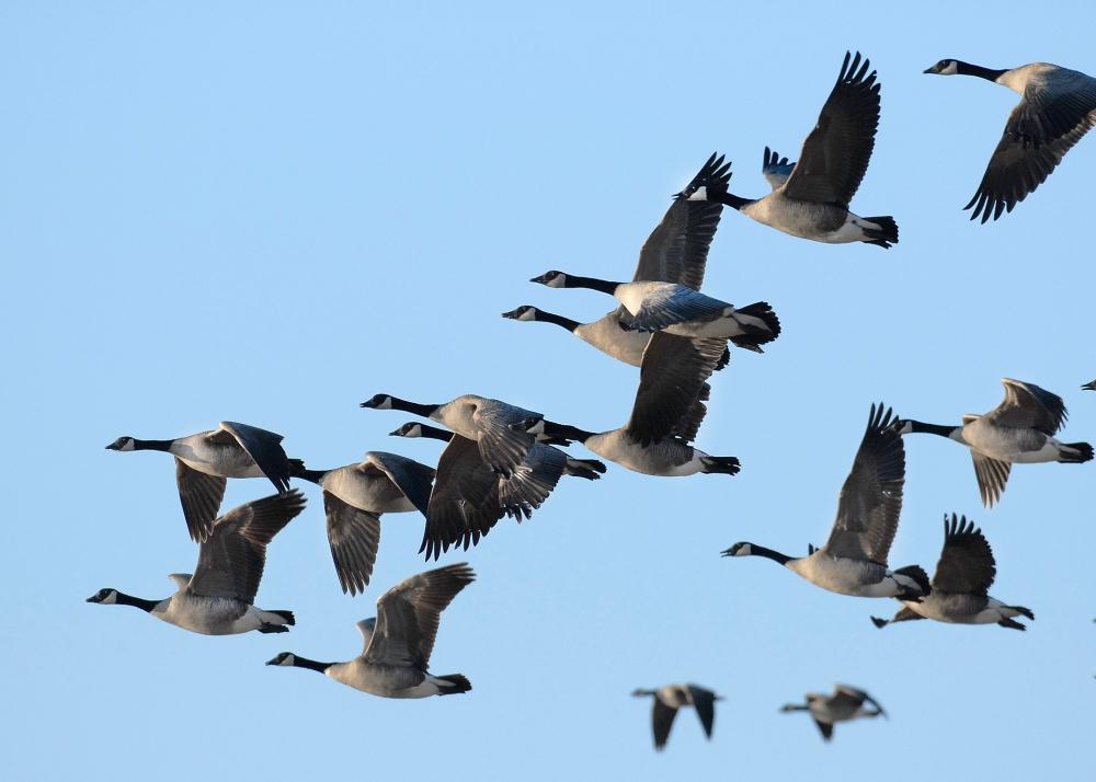 Canada Geese Flying NDGF.jpg