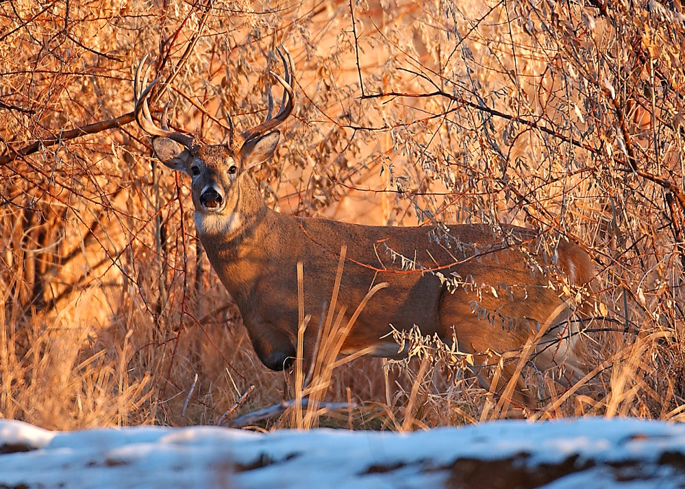 Whitetail Buck in Brambles NDGF.jpg